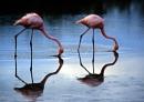 Synchronous flamingos