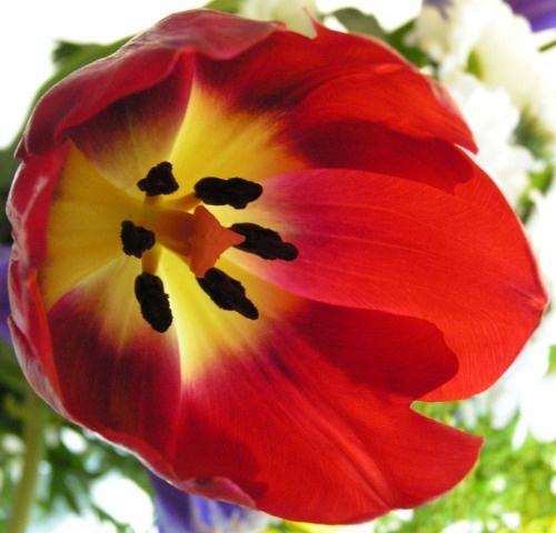 Tulip by silverwolf