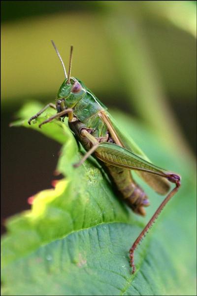 grasshopper by christabella