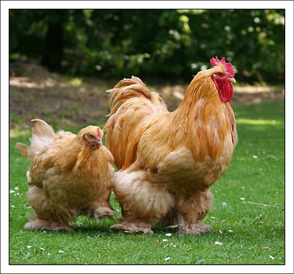 Chatsworth Chickens by markharrop
