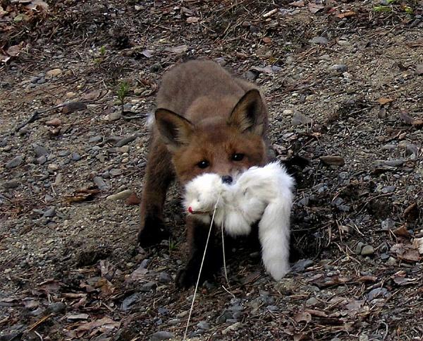 Foxy fishing by kengreen