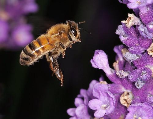 Bee & Lavender by gemm