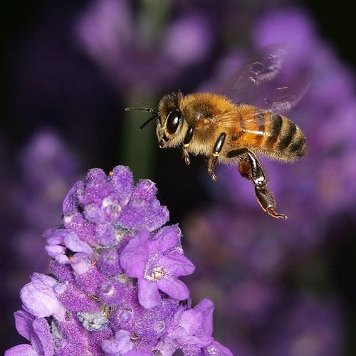 Bee & Lavender II by gemm