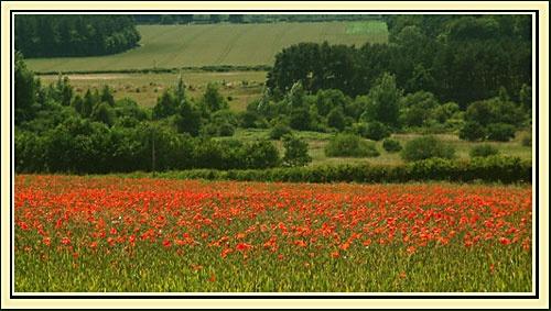 Norfolk Poppy Field by joan duckett
