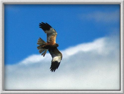 BIRD OF PREY IN FLIGHT by demetrio