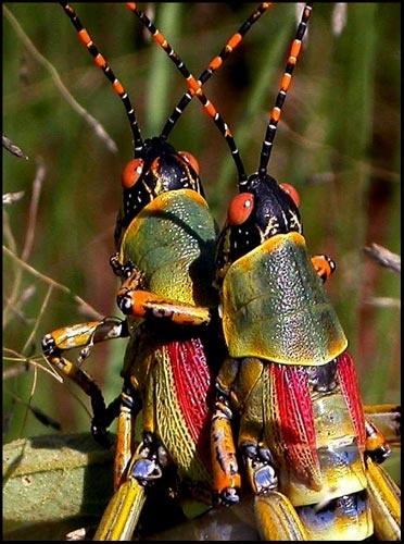 Elegant grasshoppers by joggievs