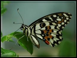 Blenheim Butterfly