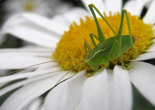 Bush cricket by pcjackso