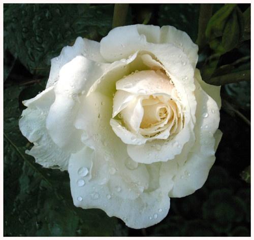 Lady Diana Rose . by Pegon