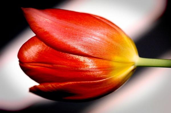 Tulip by stulam