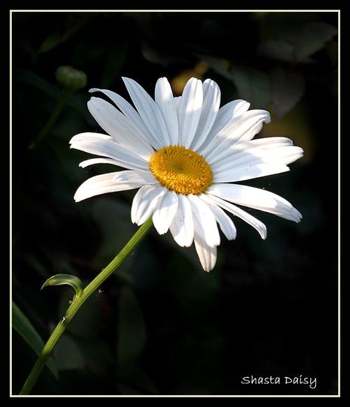 Shasta Daisy by naturenut