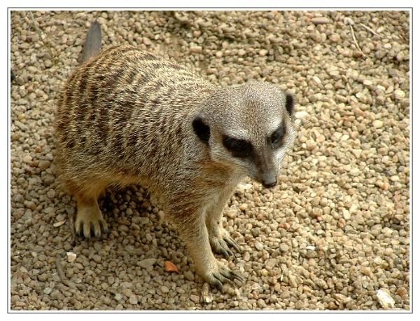 Meerkat by deltafour