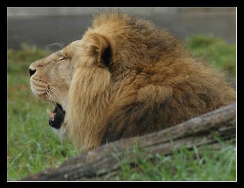 Lion by patrickfarrell