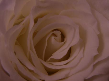 White Rose by iainpb