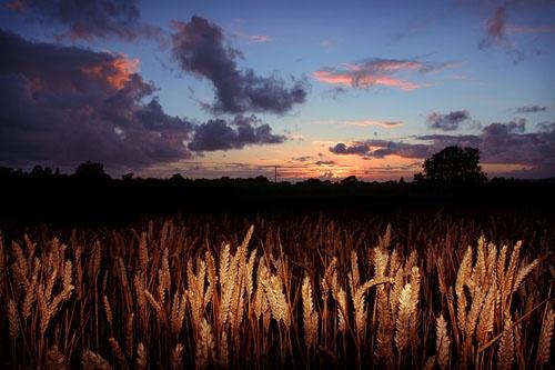 Cornfield at Sunset by smarjoram