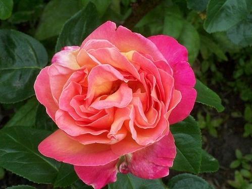 Rose by bono