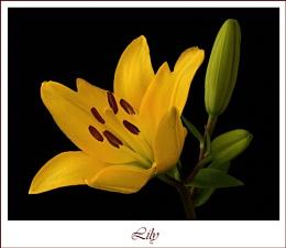 Lily III