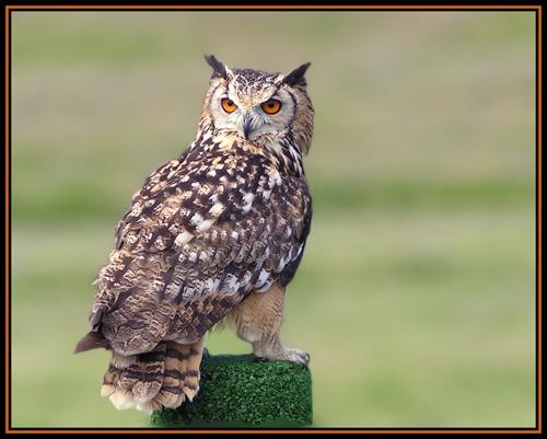 Bengal Eagle Owl by MoWiz