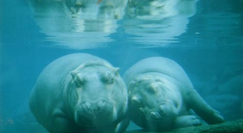 2 Lazy Hippos by AnnieK