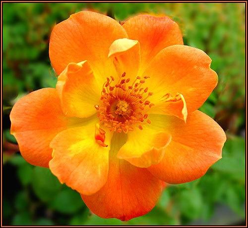 Orange flower. by Pegon