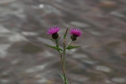 Double Scots by jjmills