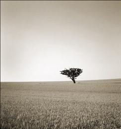 Single Tree - South Woodham Ferrers
