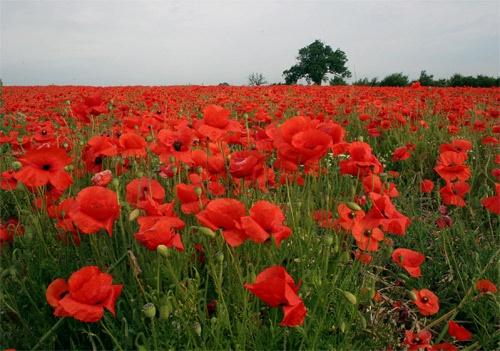 Poppy Field by f8
