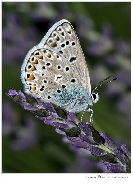 Blue on Lavender by celestun
