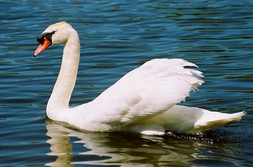 Pembrokeshire Swan by digitalirony