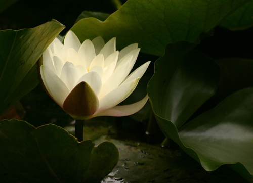 Water Lilly by fairlytallpaul