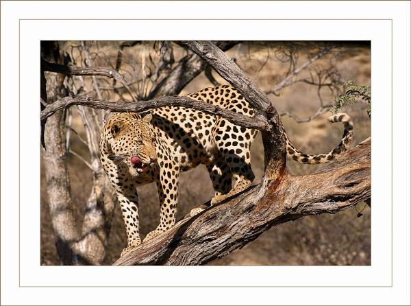 Leopard by jules41