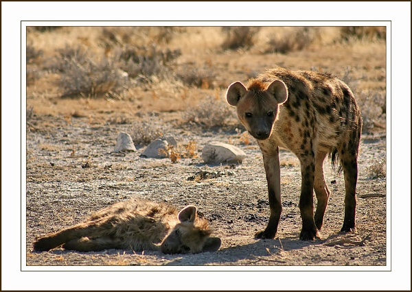 Spotted Hyena by jules41