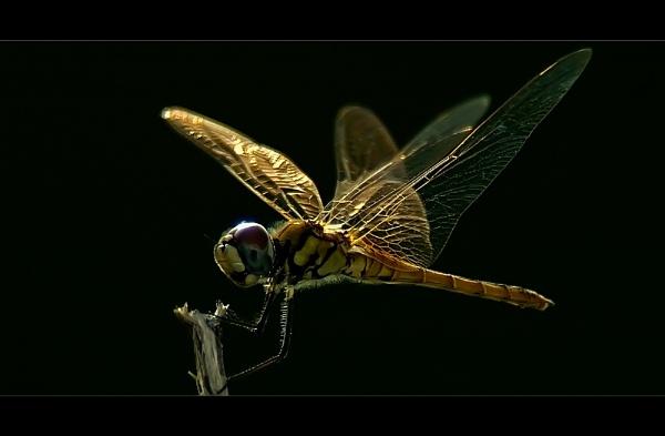 Golden Dragon II by suleesia