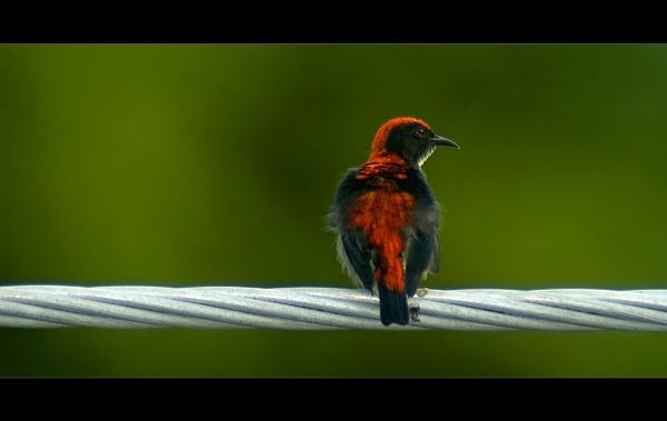 Scarlett-Backed Flowerpecker by suleesia