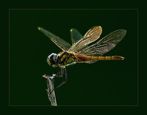 Golden Dragon III by suleesia