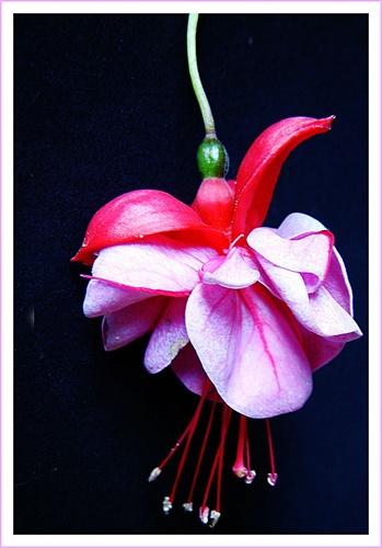 Pink lady by AngelaR