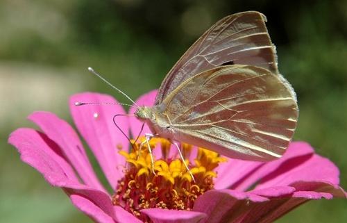 Butterfly # 5 by Aazragi