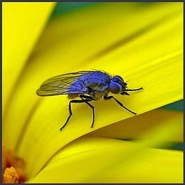 Fly on a Calendula