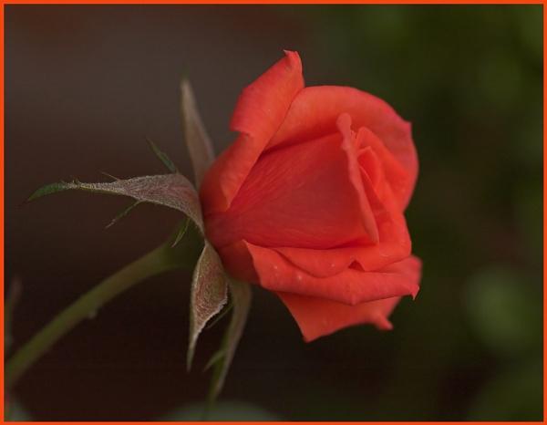 rose by OLDNIK