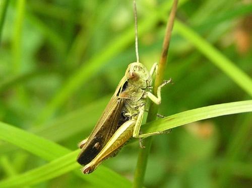 Grasshopper by pcjackso