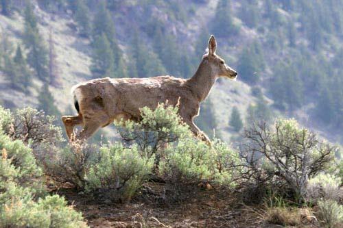 Mule Deer by BlueInfinity