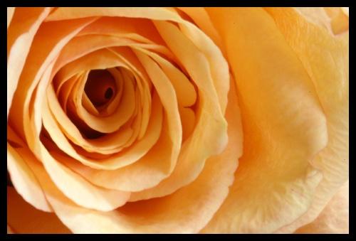 Rose 1 by RSaraiva