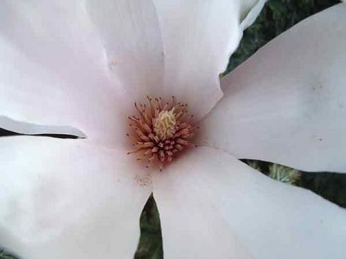 Magnolia by cmmatthews