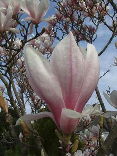 Magnolia 2 by cmmatthews