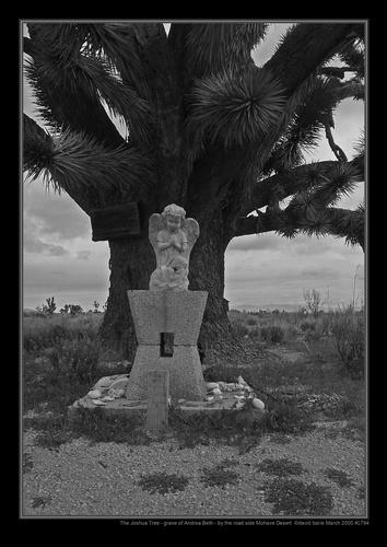 Beneath the Joshua Tree by davidbailie
