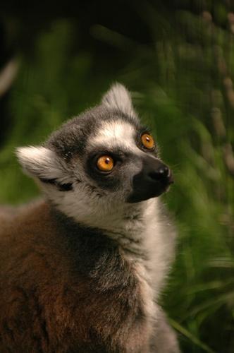 Lemur by philjoel