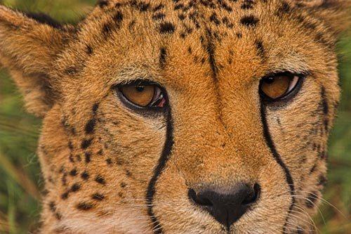 Cheetah by db