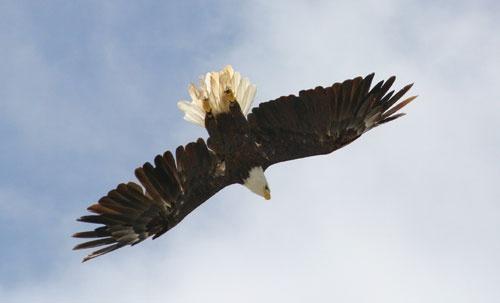eagle by rf