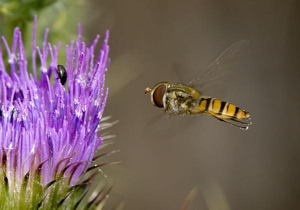 Hoverfly by danpen