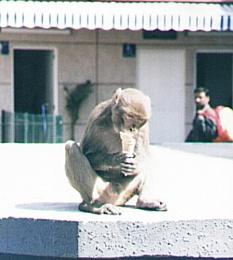 monkeyslurp